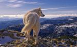 alaskanwolf230x144