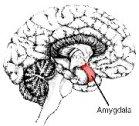 The Amygdala - neurological role of the Dalai Lama