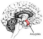 The Amygdala - neurological role of the Dalai Lama