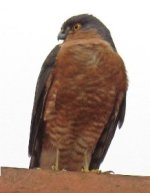 sparrowhawk from matt
